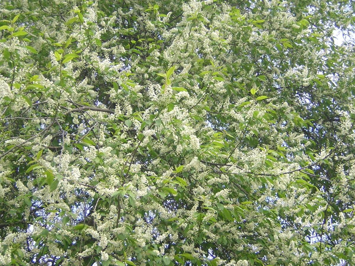 Черёмуха возле дома: приметы. Народные приметы, связанные с цветением черемухи