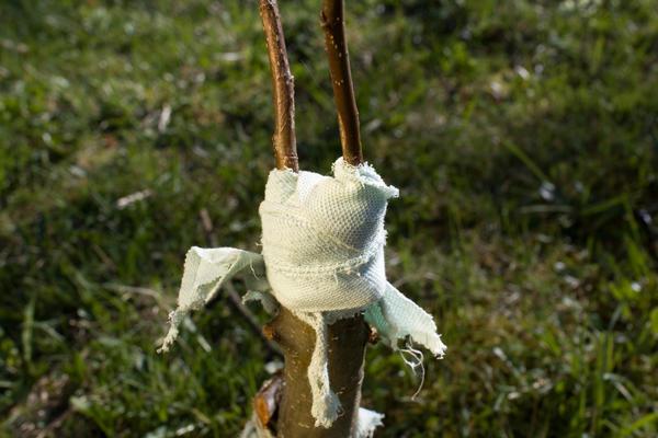 Жеміс ағаштарының вакцинациясы бақша учаскесінде көптеген түрлі мәселелерді шеше алады