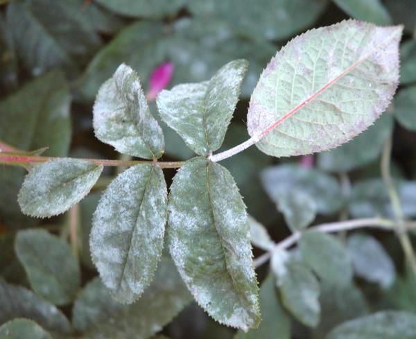 Болезни и вредители роз: описание, признаки и меры борьбы
