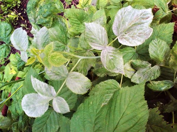 Пищевая сода для сада и огорода: 22 способа применения на ...