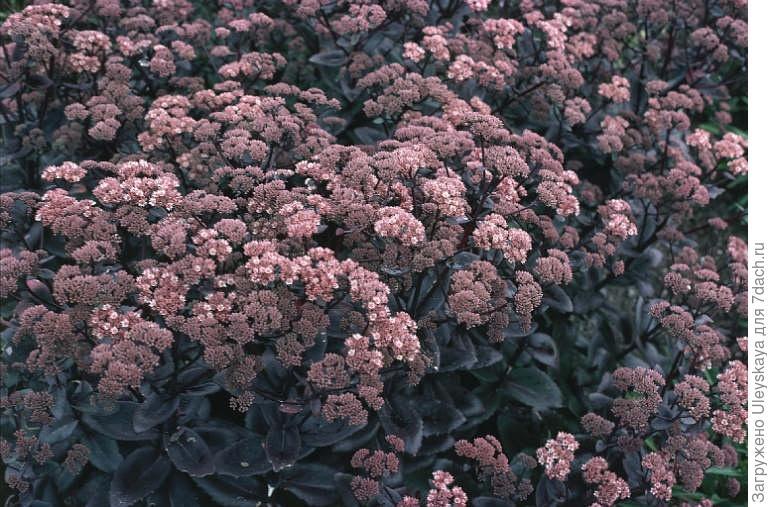 Заячья капуста цветок лечебные свойства. Как выглядит заячья капуста и её лечебные свойства