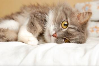 Сильное сотрясение у кота: симптомы. У кота сильное сотрясение мозга: симптомы и лечение