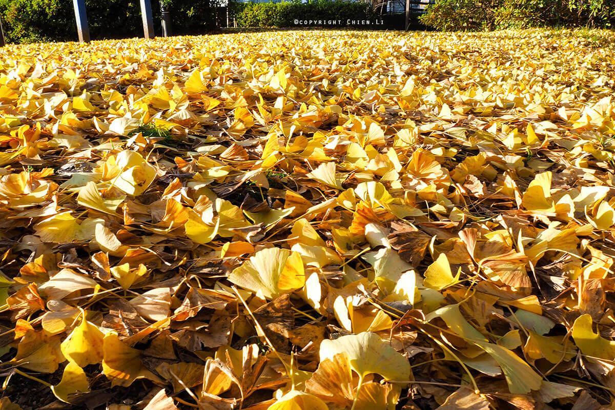 國營昭和紀念公園銀杏地毯
