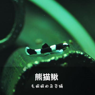熊貓鰍黑白鰍厚脣原吸鰍爬巖鰍 觀賞魚熊貓吸鰍吃蛋白蟲不吃蝦1cm