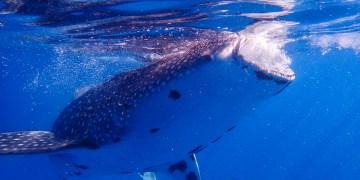 菲律賓.宿霧|歐斯陸Oslob鯨鯊共游 溫柔的海中巨獸