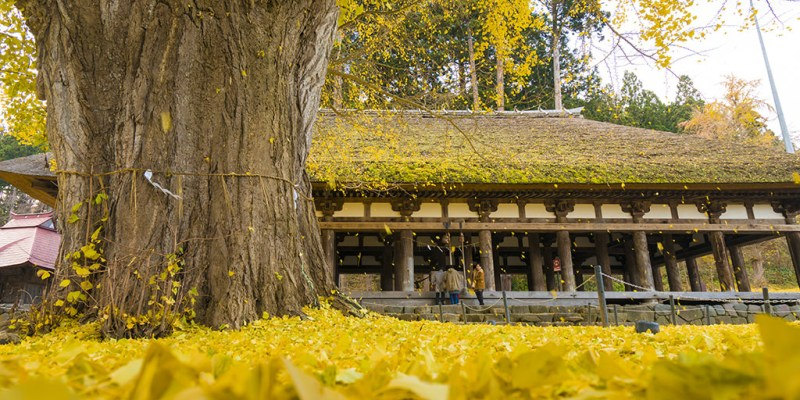 日本福島|新宮熊野神社・八百年銀杏樹下,織就一幅穿越時空的畫