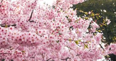 【東京賞櫻】新宿御苑。東京人最愛的賞櫻景點!來場浪漫的野餐吧