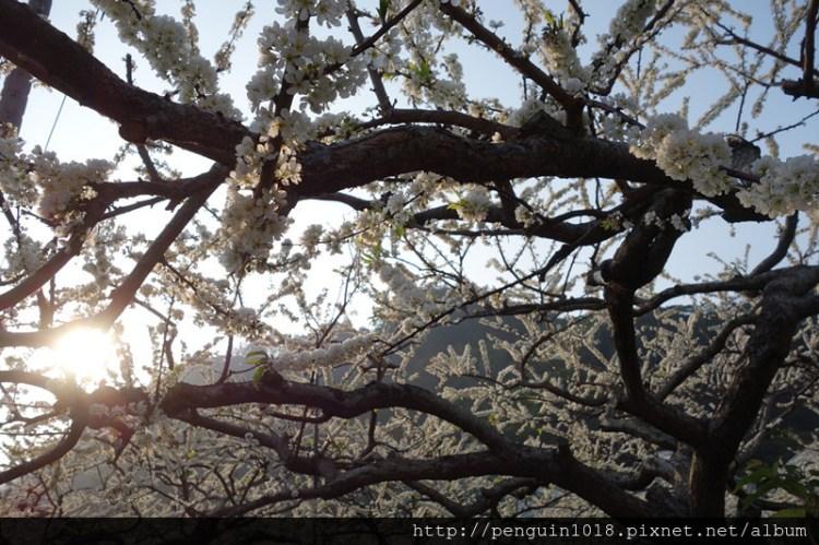 """【南投信義】南投信義鄉牛稠坑梅花季(李花);跟隨梅花後方""""李花""""的腳步,尋找另一種美麗白雪。"""