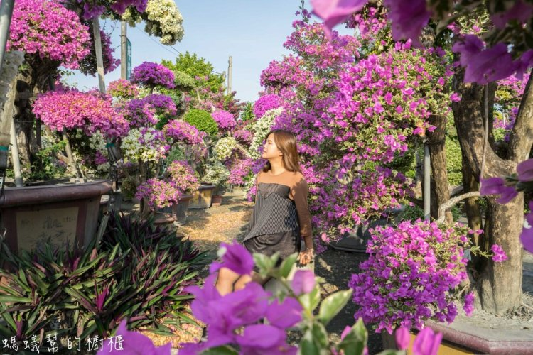 田尾九重葛之家(輝豐園藝) | 彰化IG超夯打卡,如夢境般比人高的九重葛花海,圍繞在萬紫千紅花園。