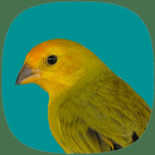 Canário Verdadeiro 3.2.1 icon