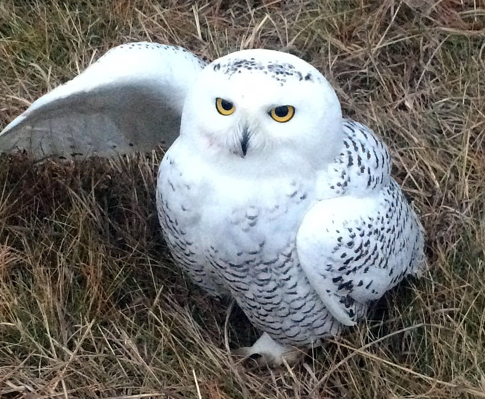 Snowy Owls Coming To Minnesota Earlier And More Often