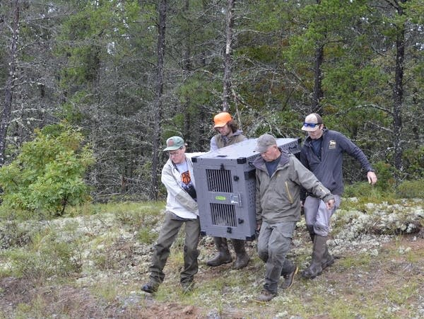 Isle Royale wolf relocation