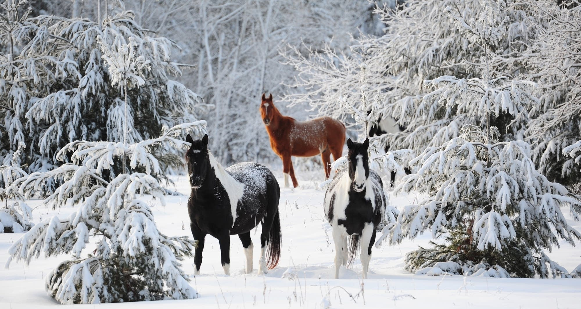 Clydesdale Horses Running Wild