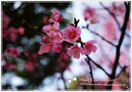 │攝影│台北。陽明山。GF1拍出的櫻花好美!
