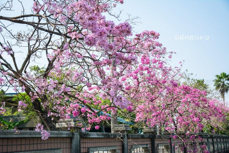 嘉義‧西區 嘉義特殊教育學校,盛開的洋紅風鈴木