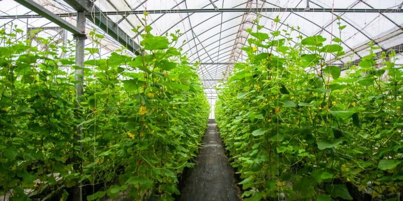 |苗栗景點|彎麗愛情果園,一起到溫室裡採收愛情果