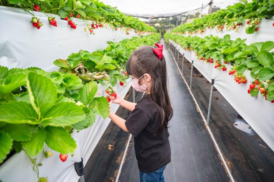 |苗栗景點|六合高架牛奶草莓農場,鮮嫩多汁又香氣十足的草莓,宣告2020年大湖草莓季開跑啦