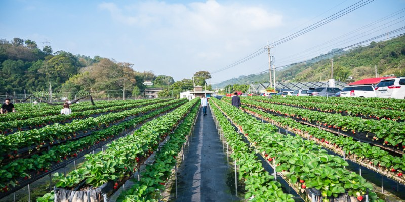 |苗栗景點|如意高架牛奶草莓,馬拉邦山下如茶園般景色的草莓園,邊採草莓邊欣賞優美景色
