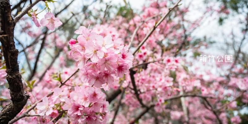 |新竹景點|新竹公園,850棵櫻花盛開中,公園還有沙坑、遊樂設施可以玩,野餐踏青賞櫻的好去處