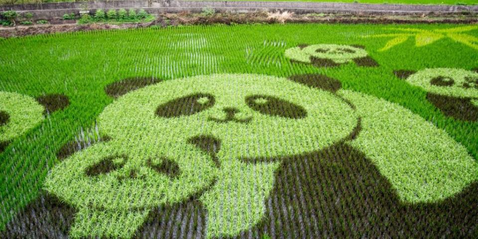 Miaoli|苗栗‧苑裡|2015年時間限定山腳社區彩繪稻田,旁邊還有藺草文化館可以參觀