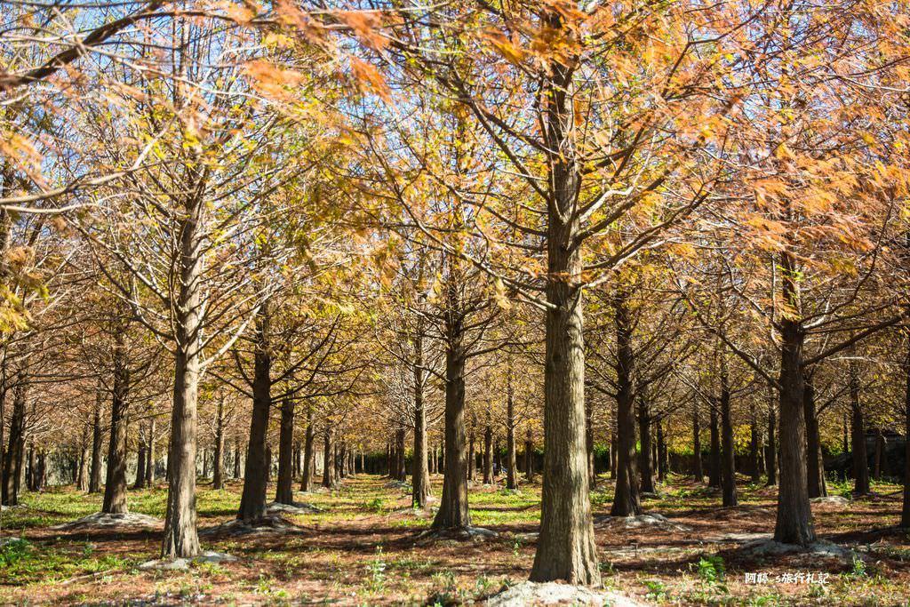  苗栗‧苑裡 無意間路過發現的美景,一個人享受這一大片落羽松秘境,怎麼拍都像明信片一般的景色