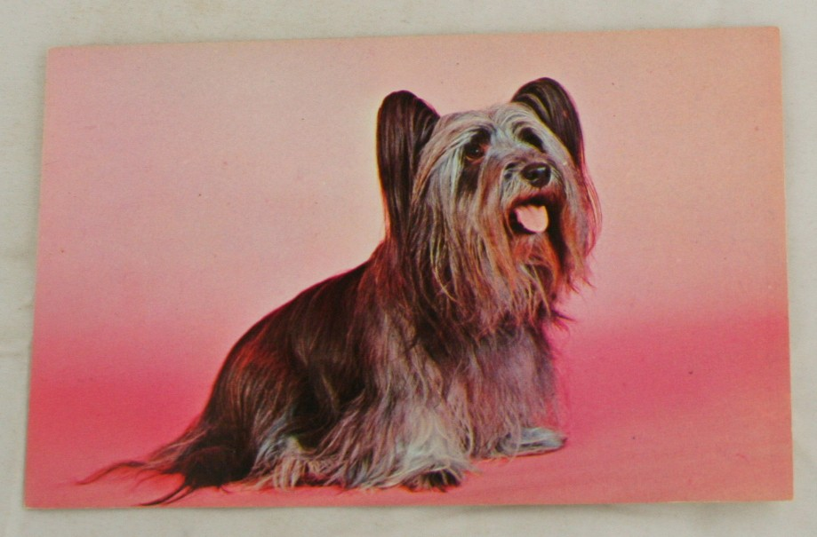 vintage postcard, animals, dog, Yorkshire Terrier