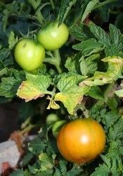 Verifique as folhas dos tomateiros