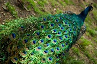 Resultat d'imatges de pluma pavo real