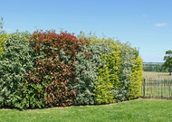 In a hedge of inspiration bocage, on the contrary, the plants mix, the c ...