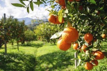 Apa Citrus Buah Memiliki Kebanyakan Vitamin C?