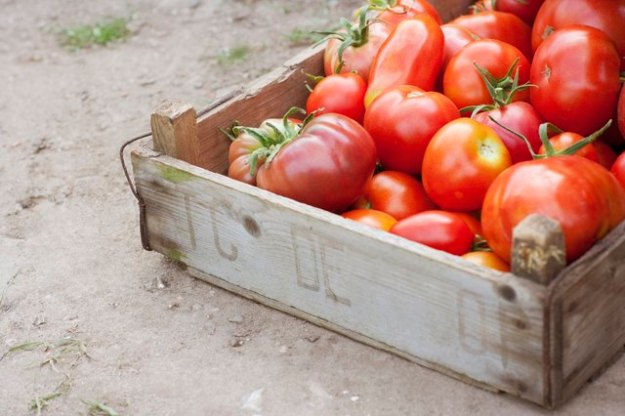 Tomatoes are also part of the nightshade family