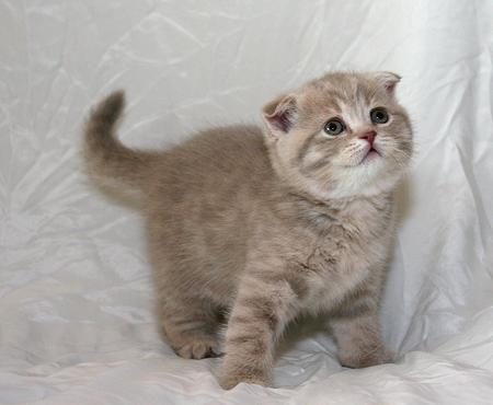 РЕШИЛИ! БЕРЕМ!!! - как различить шотландских котят ...