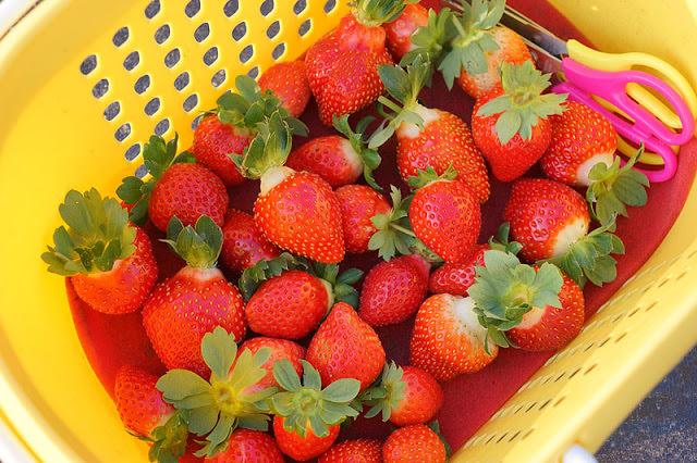 台中觀光果園│採草莓不用去大湖,台中草莓世界就在潭子慈濟醫院對面開採囉