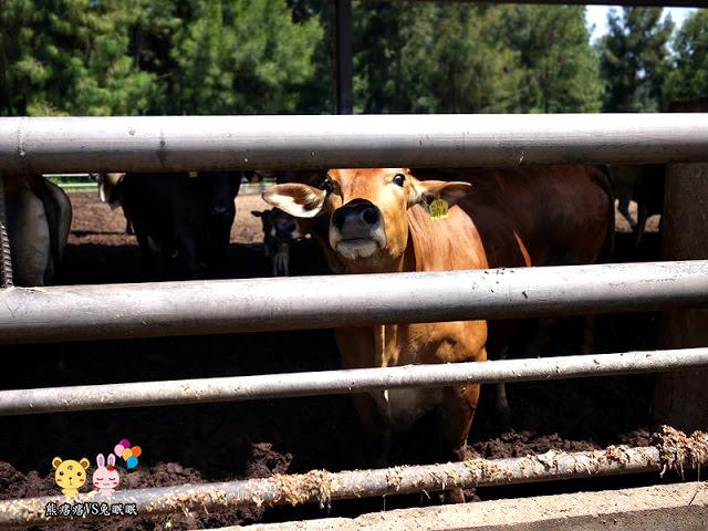 【金門良金畜牧場】良金真的有牛場耶