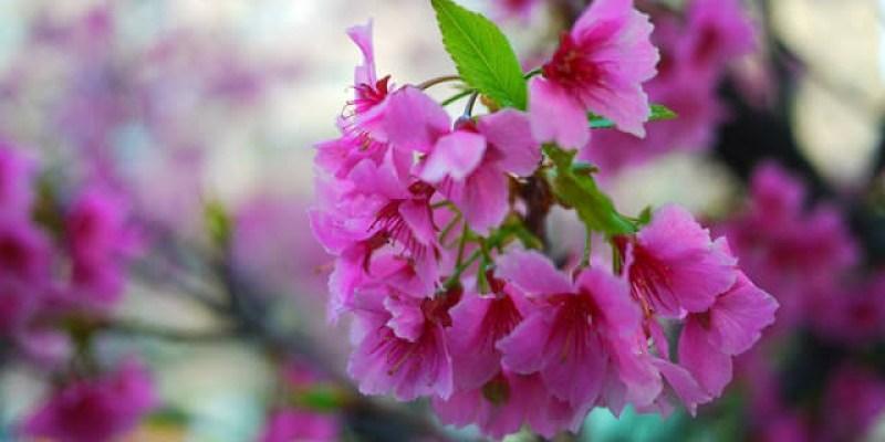 【台中東興公園】市區賞櫻花真好玩