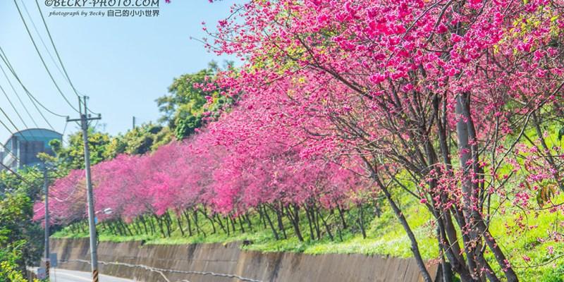 【台中】。新社櫻花哪裡看?免費櫻花景點整理!新社大南坡、中95縣道、櫻木花道