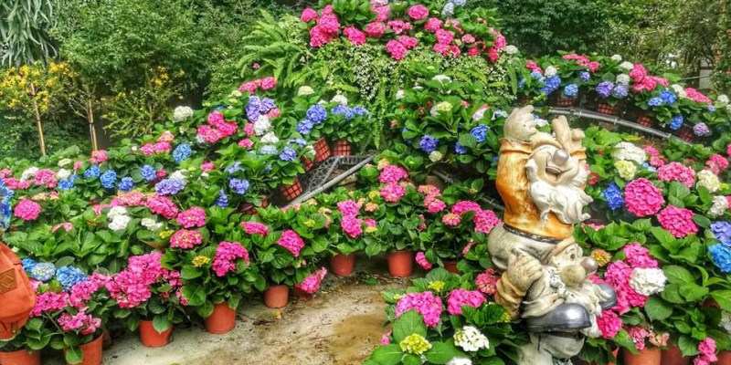 【苗栗】。花露休閒農場 繡球花玫瑰花薰衣草等季節景觀餐廳