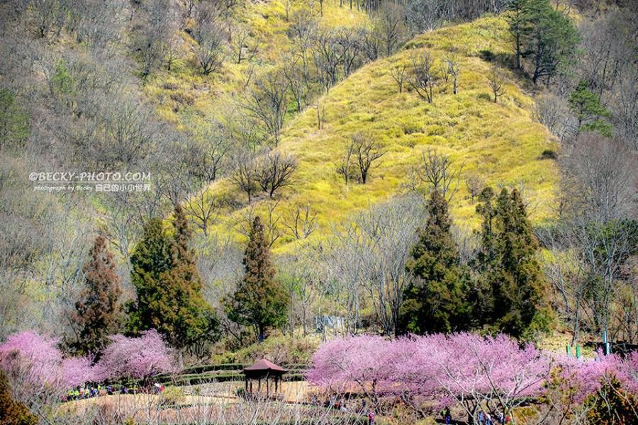 【台中】。武陵農場櫻花季拍照 觀月亭茶園風景照 台灣賞櫻景點