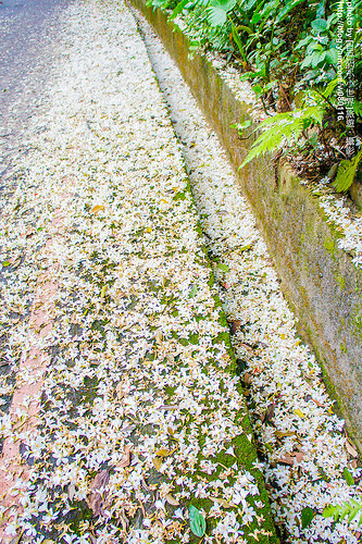 【新北市】。2015新北市桐花季要開跑了! 新北市各區桐花活動