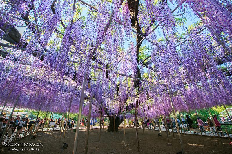 【日本】。足利紫藤花紫色靈魂樹「樹齡150年紫藤樹」世界10大夢幻旅遊景點!
