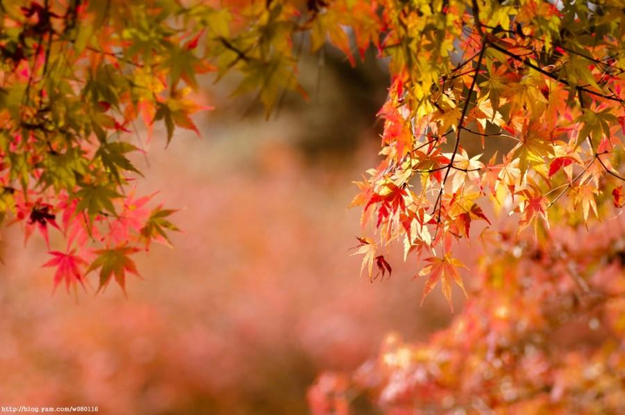 【台中】。著名賞楓景點..追楓到福壽山農場去~