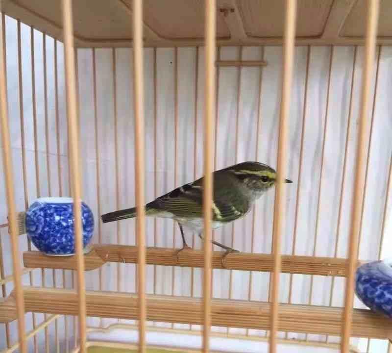 黄腰柳莺饲养经验