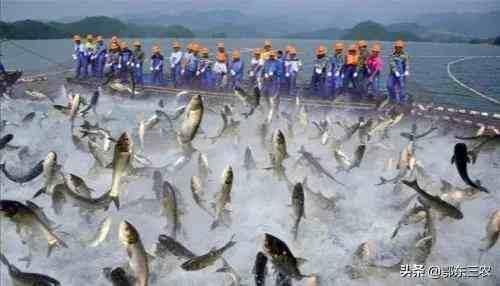 农村常吃的白鲢鱼和花鲢鱼有什么区别?