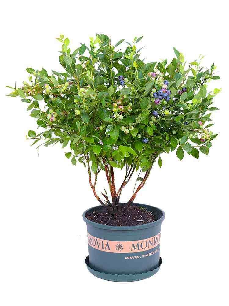 蓝莓的栽种和管理技术,这里都有