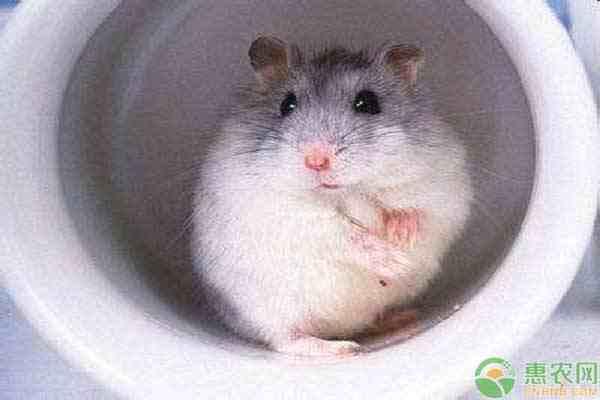 宠物仓鼠的品种有哪些?它们的外形特征和性格是怎样的?