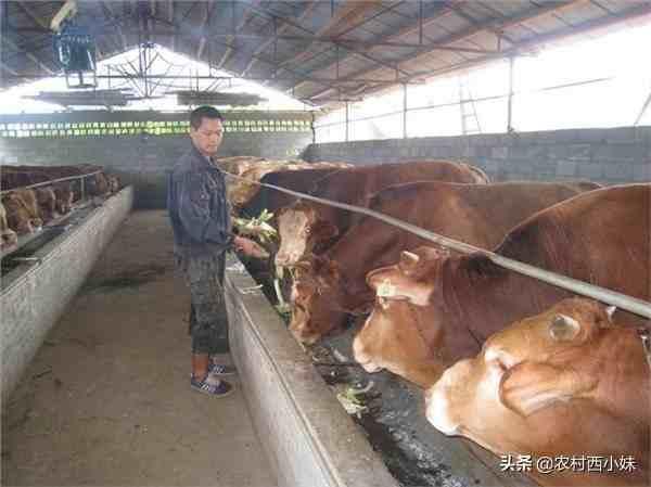 黄牛怎么养才好?黄牛的管理原则和养殖技术大全