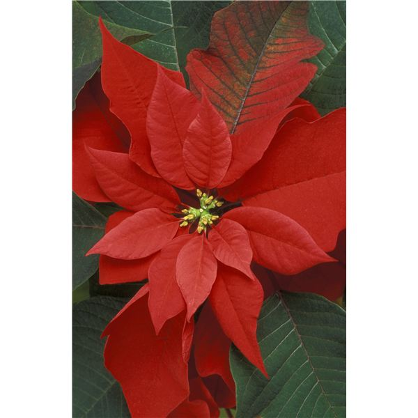 Celebrate Poinsettia Day Multicultural Lesson For