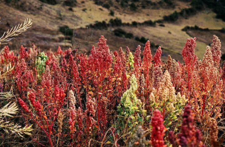 Cultivos de quinoa - Alimentación y medio ambiente