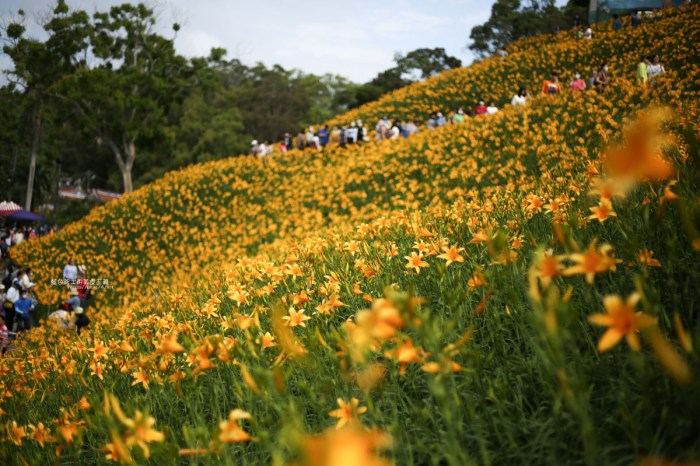 彰化花壇│虎山巖金針花-金黃色花海,滿滿盛開中