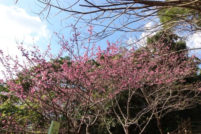 『2017沖繩』櫻花、散步、溜滑梯一手包-美又大的名護城公園